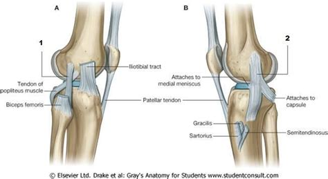 AN1 10: (PIC) Anterior and Medial Thigh - StudyBlue